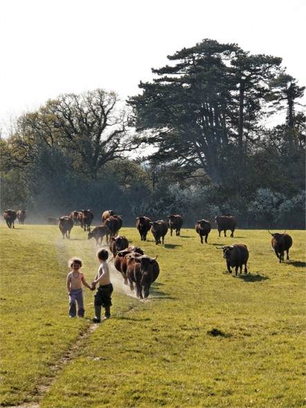 Cows-and-kids-442x590